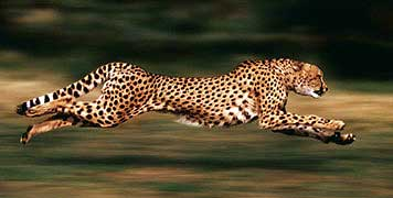 running_cheetah