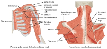 Muscles_that_Position_the_Pectoral_Girdle
